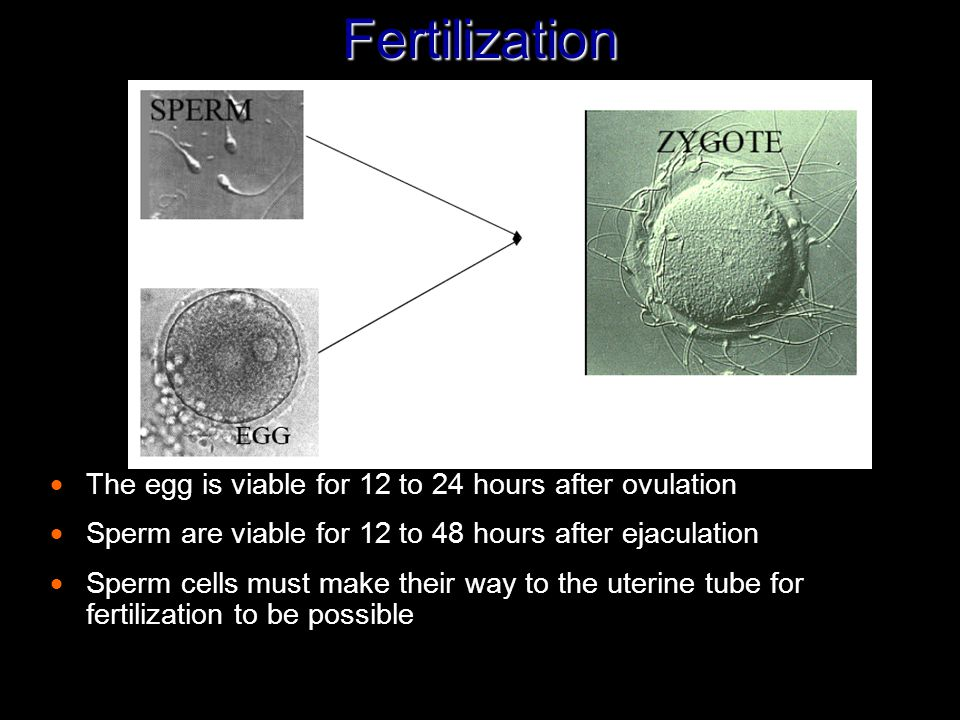 Fertilization  The egg is viable for 12 to 24 hours after ovulation  Sperm are viable for 12 to 48 hours after ejaculation  Sperm cells must make t