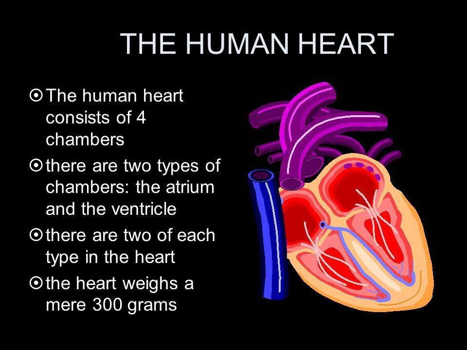 THE HUMAN HEART ¤The human heart consists of 4 chambers ¤there are two types of chambers: the atrium and the ventricle ¤there are two of each type in