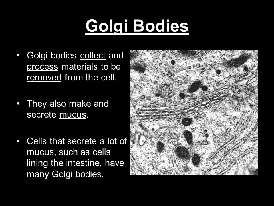 Golgi Bodies Golgi bodies collect and process materials to be removed from the cell. They also make and secrete mucus. Cells that secrete a lot of muc