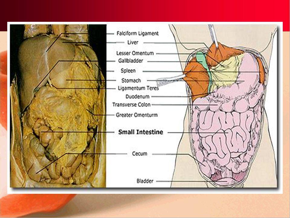 3 parts of small intestine