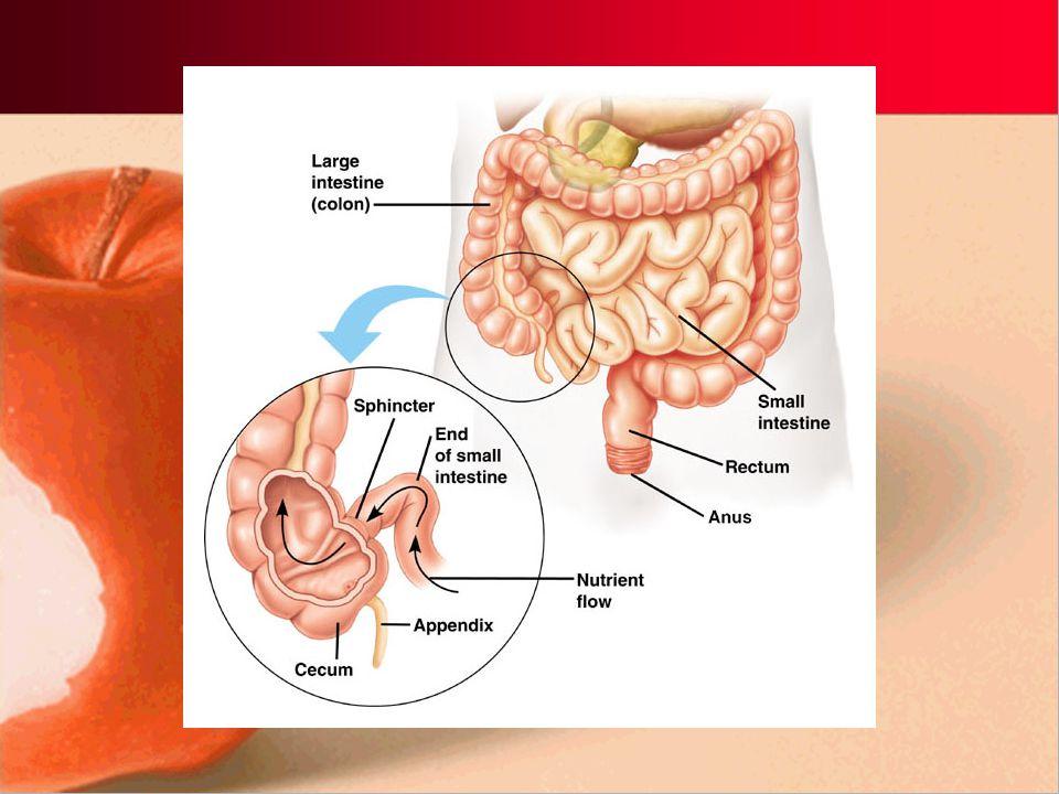 Large Intestines