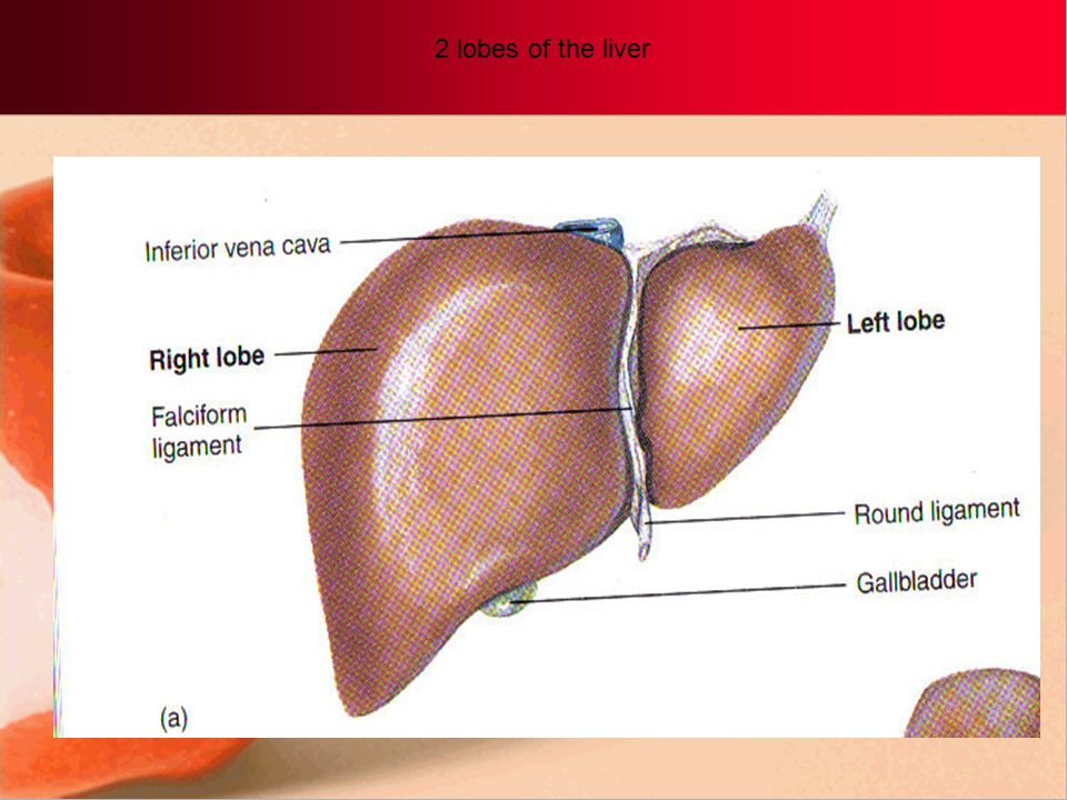 8. Liver Largest internal organ, serves as the body's primary storage place main chemical factory and detoxification site. Gets blood from intestines