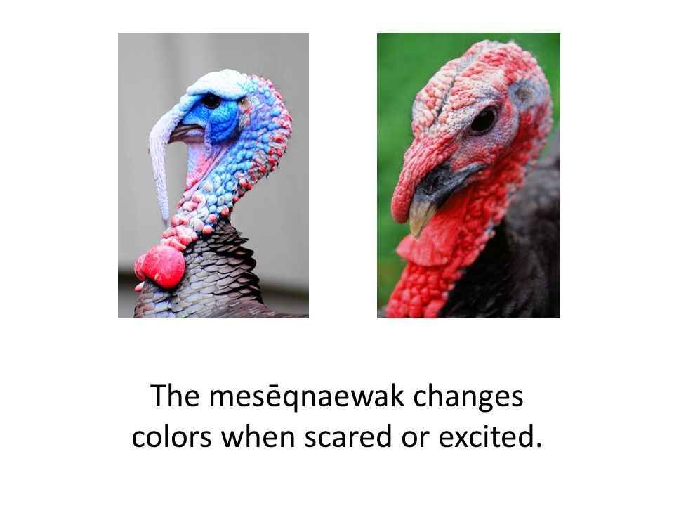 The mesēqnaewak changes colors when scared or excited.