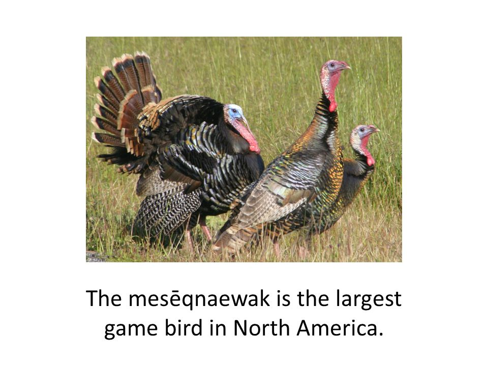 The mesēqnaewak is the largest game bird in North America.
