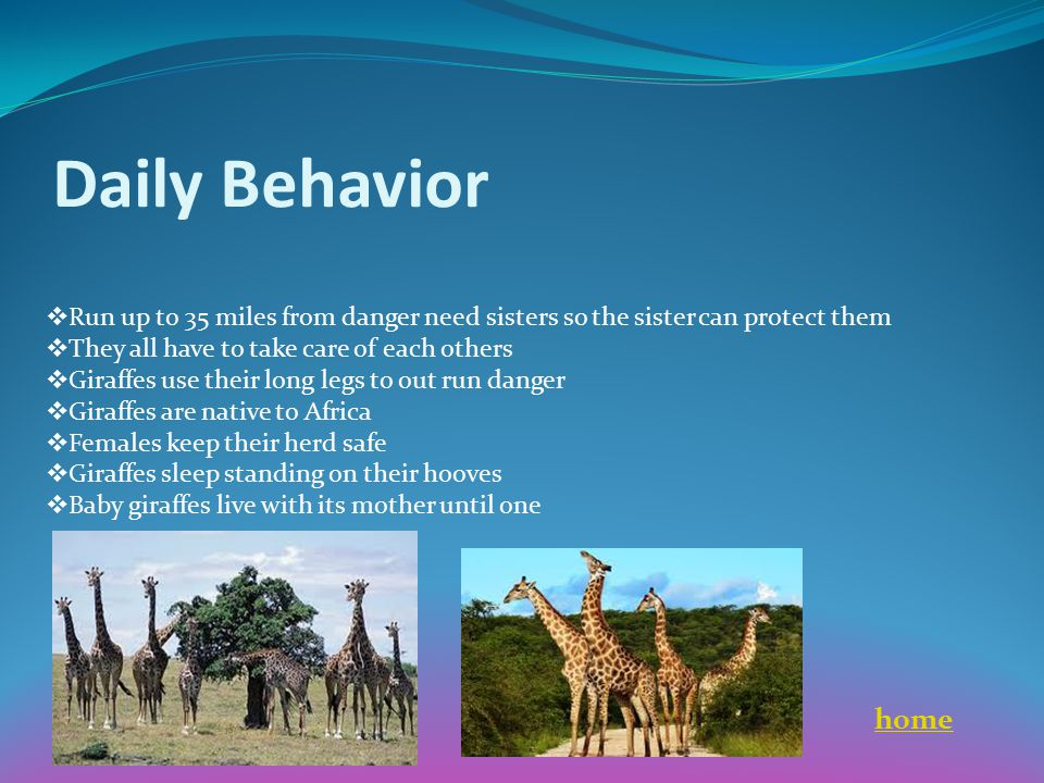 Daily Behavior  Run up to 35 miles from danger need sisters so the sister can protect them  They all have to take care of each others  Giraffes use
