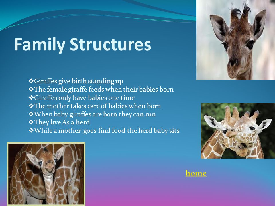 Family Structures  Giraffes give birth standing up  The female giraffe feeds when their babies born  Giraffes only have babies one time  The mothe
