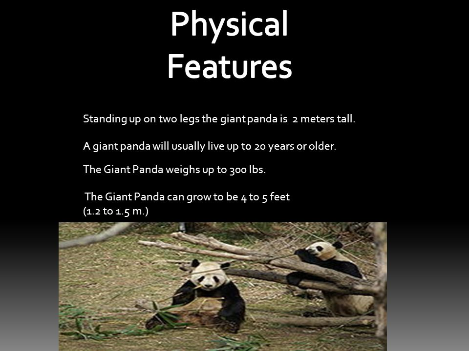 Standing up on two legs the giant panda is 2 meters tall.