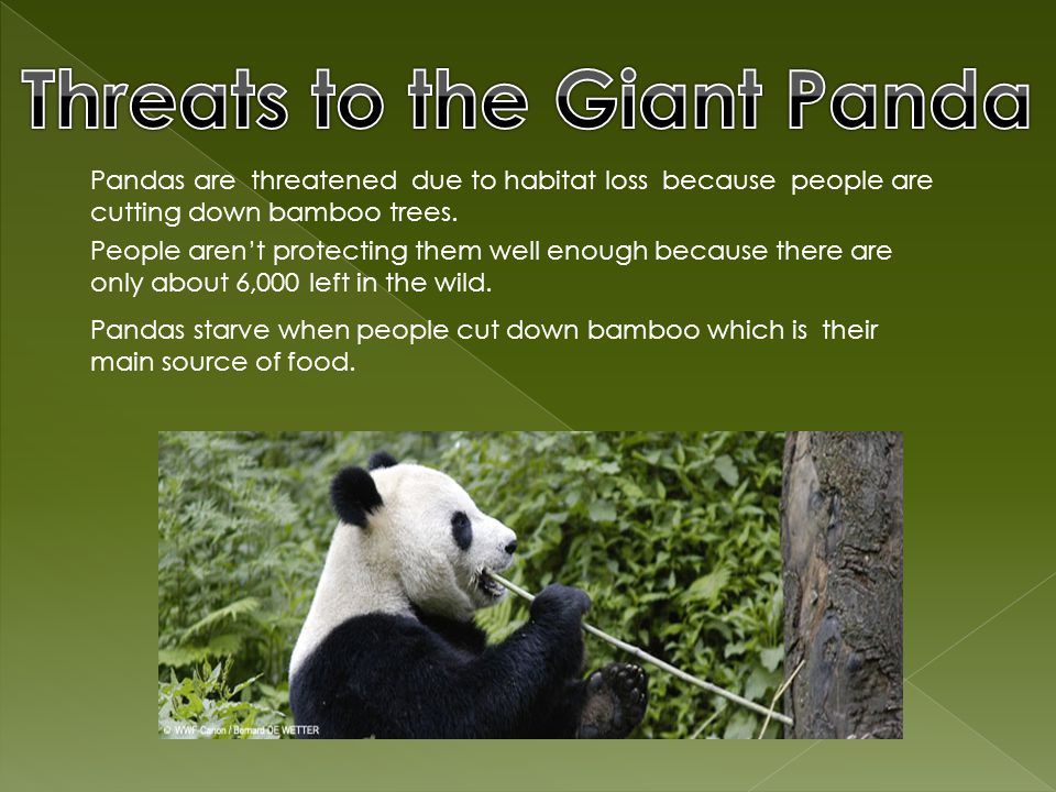 The Giant panda eats mostly bamboo.