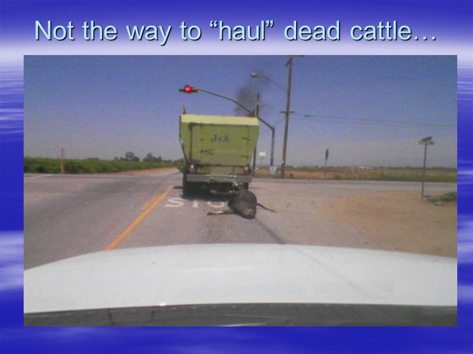 Not the way to haul dead cattle…