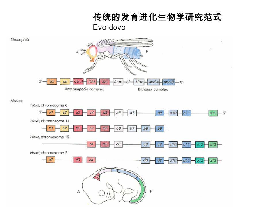 传统的发育进化生物学研究范式 Evo-devo