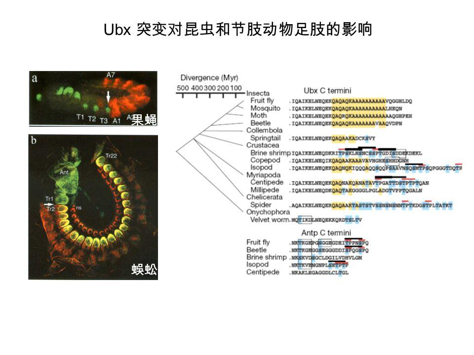Ubx 突变对昆虫和节肢动物足肢的影响 果蝇 蜈蚣