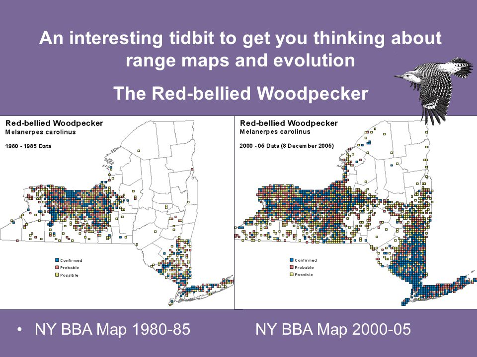 NY BBA Map 1980-85NY BBA Map 2000-05 An interesting tidbit to get you thinking about range maps and evolution The Red-bellied Woodpecker