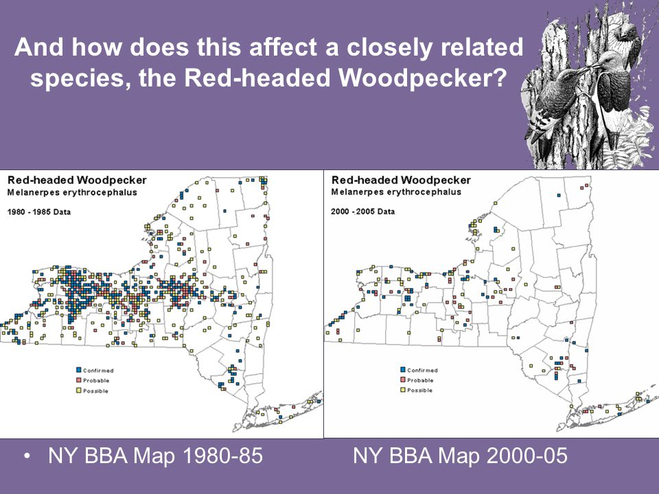 NY BBA Map 1980-85NY BBA Map 2000-05 And how does this affect a closely related species, the Red-headed Woodpecker?