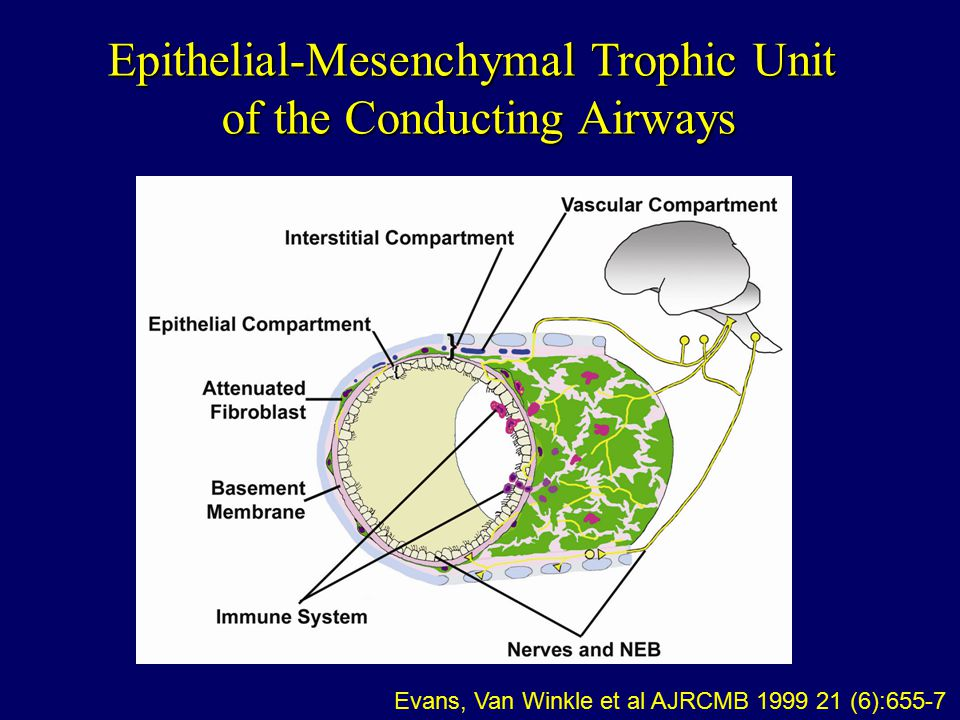 Epithelial-Mesenchymal Trophic Unit of the Conducting Airways Evans, Van Winkle et al AJRCMB 1999 21 (6):655-7