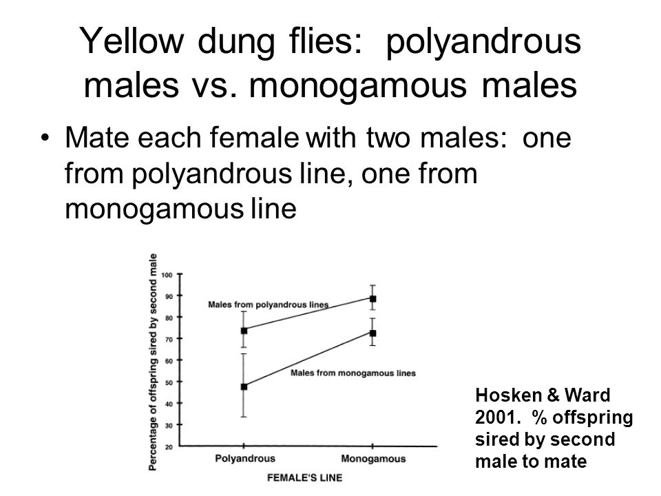 Yellow dung flies: polyandrous males vs. monogamous males Mate each female with two males: one from polyandrous line, one from monogamous line Hosken