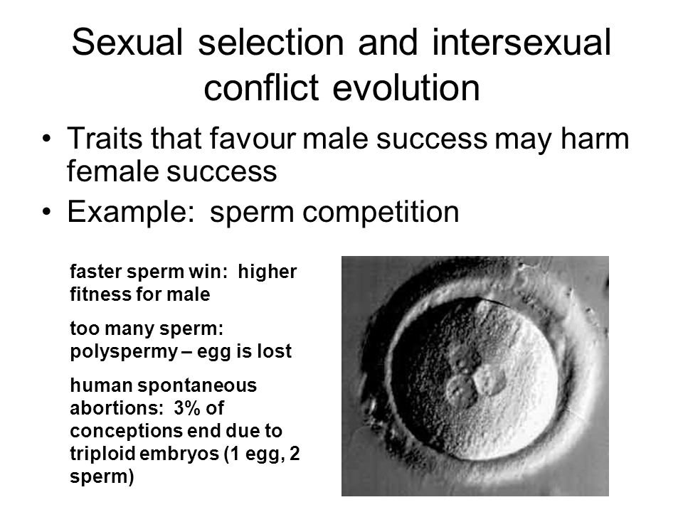 Sexual selection and intersexual conflict evolution Traits that favour male success may harm female success Example: sperm competition faster sperm wi