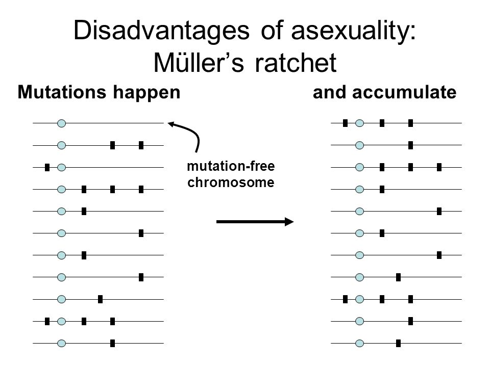 Disadvantages of asexuality: Müller's ratchet Mutations happenand accumulate mutation-free chromosome