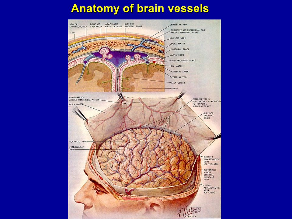 Anatomy of brain vessels