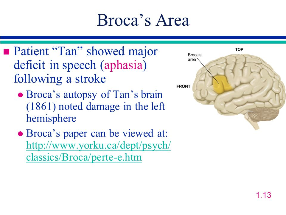 Broca's Area n Patient Tan showed major deficit in speech (aphasia) following a stroke l Broca's autopsy of Tan's brain (1861) noted damage in the left hemisphere l Broca's paper can be viewed at: http://www.yorku.ca/dept/psych/ classics/Broca/perte-e.htm http://www.yorku.ca/dept/psych/ classics/Broca/perte-e.htm 1.13