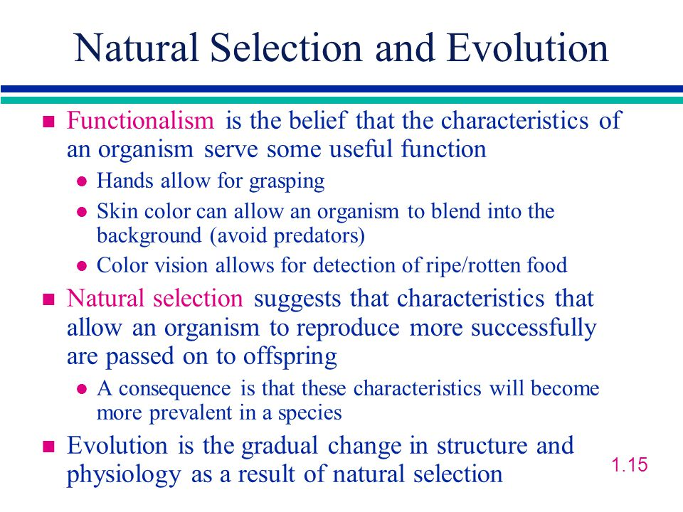Natural Selection and Evolution n Functionalism is the belief that the characteristics of an organism serve some useful function l Hands allow for grasping l Skin color can allow an organism to blend into the background (avoid predators) l Color vision allows for detection of ripe/rotten food n Natural selection suggests that characteristics that allow an organism to reproduce more successfully are passed on to offspring l A consequence is that these characteristics will become more prevalent in a species n Evolution is the gradual change in structure and physiology as a result of natural selection 1.15