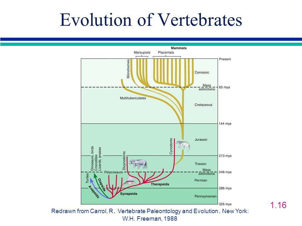 Evolution of Vertebrates Redrawn from Carrol, R. Vertebrate Paleontology and Evolution.