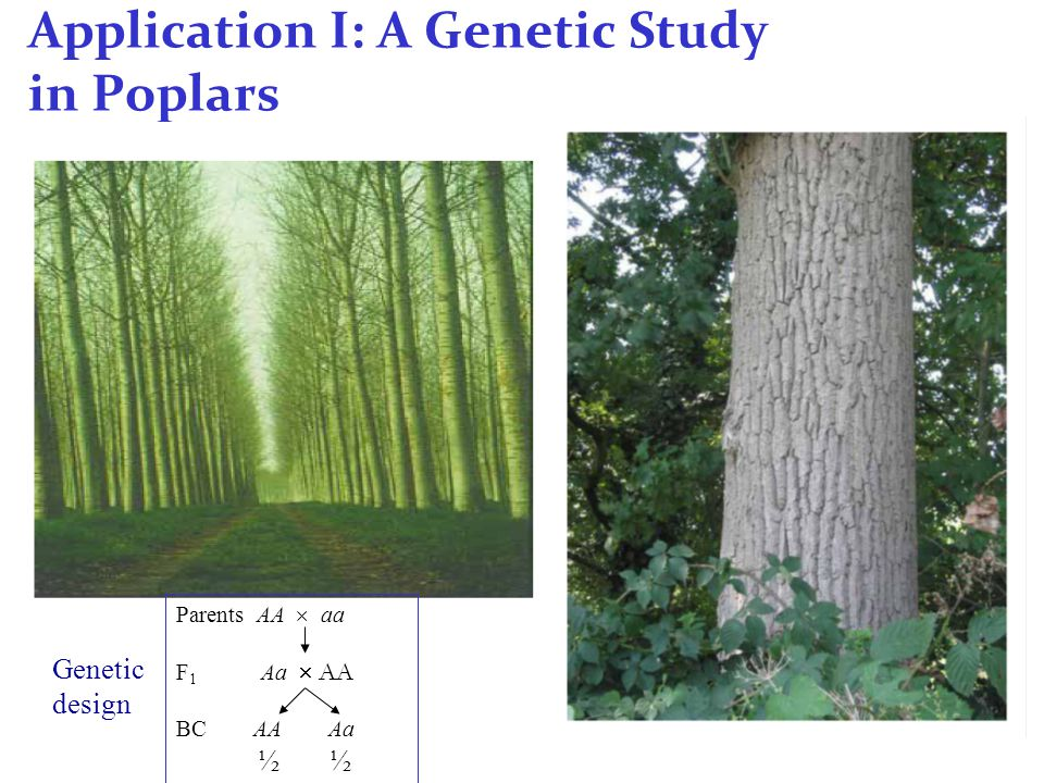 Application I: A Genetic Study in Poplars Parents AA  aa F 1 Aa  AA BC AA Aa ½ Genetic design