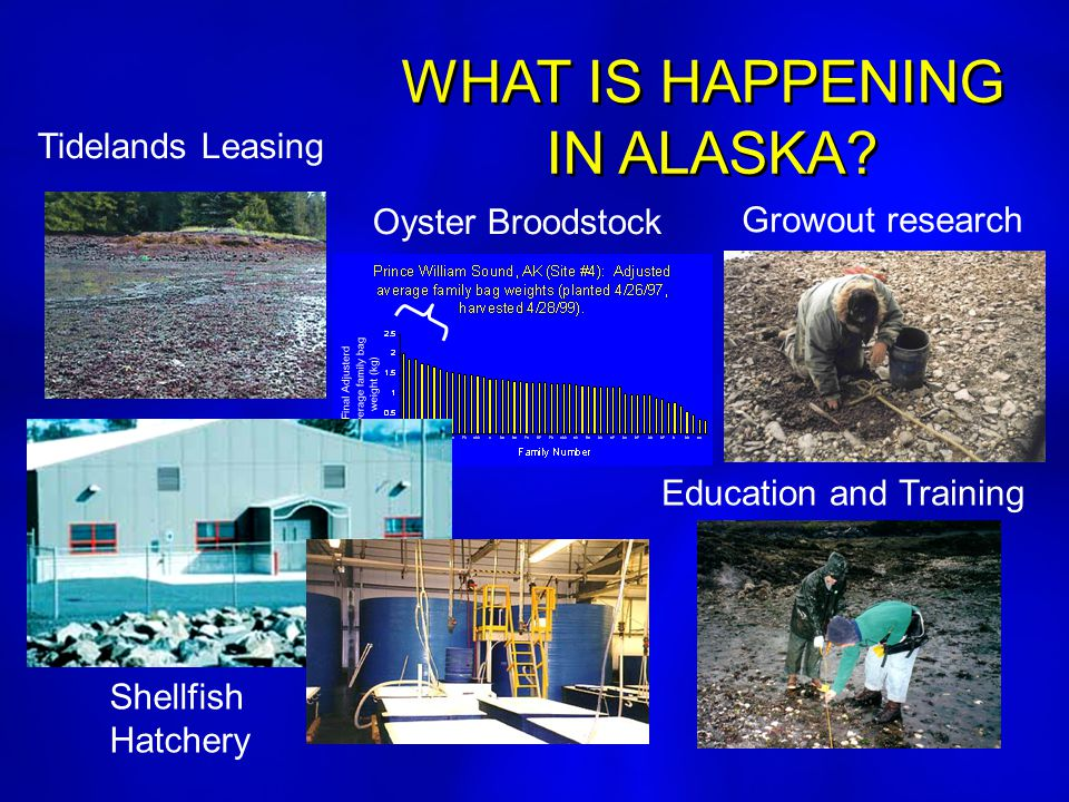 WHAT IS HAPPENING IN ALASKA? WHAT IS HAPPENING IN ALASKA? Oyster Broodstock Growout research Education and Training Tidelands Leasing Shellfish Hatche
