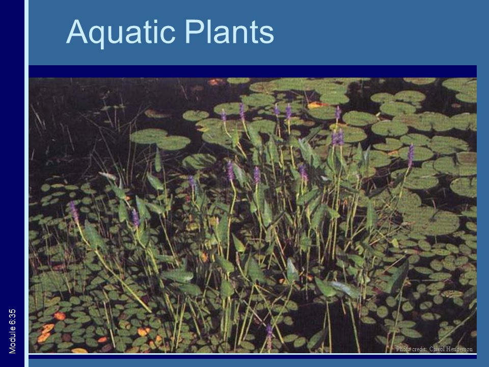 Aquatic Plants Module 6:35 Photo credit: Carrol Henderson