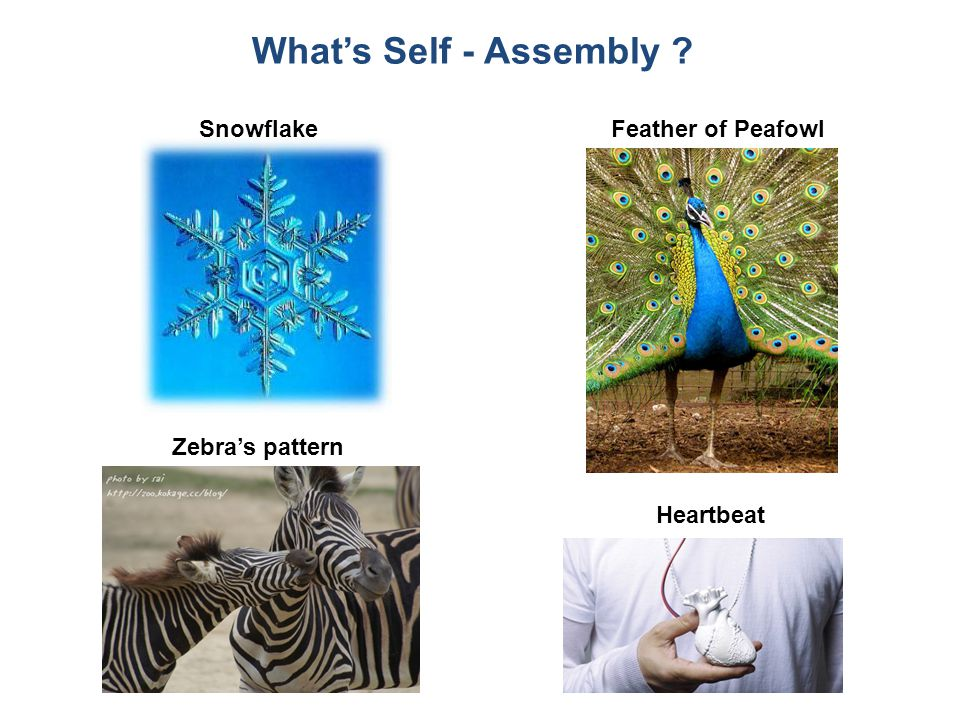 SnowflakeFeather of Peafowl Zebra's pattern Heartbeat What's Self - Assembly ?