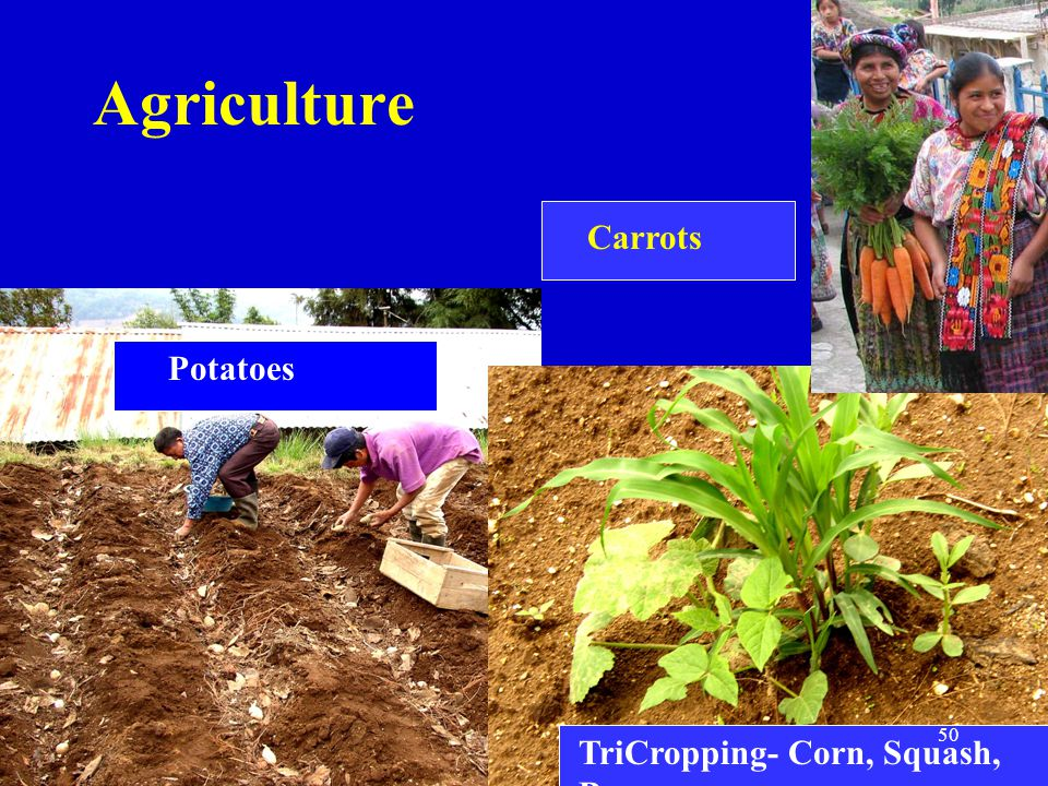 Agriculture Potatoes TriCropping- Corn, Squash, Bean Carrots 50