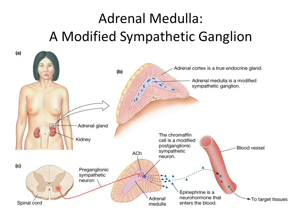Adrenal Medulla: A Modified Sympathetic Ganglion