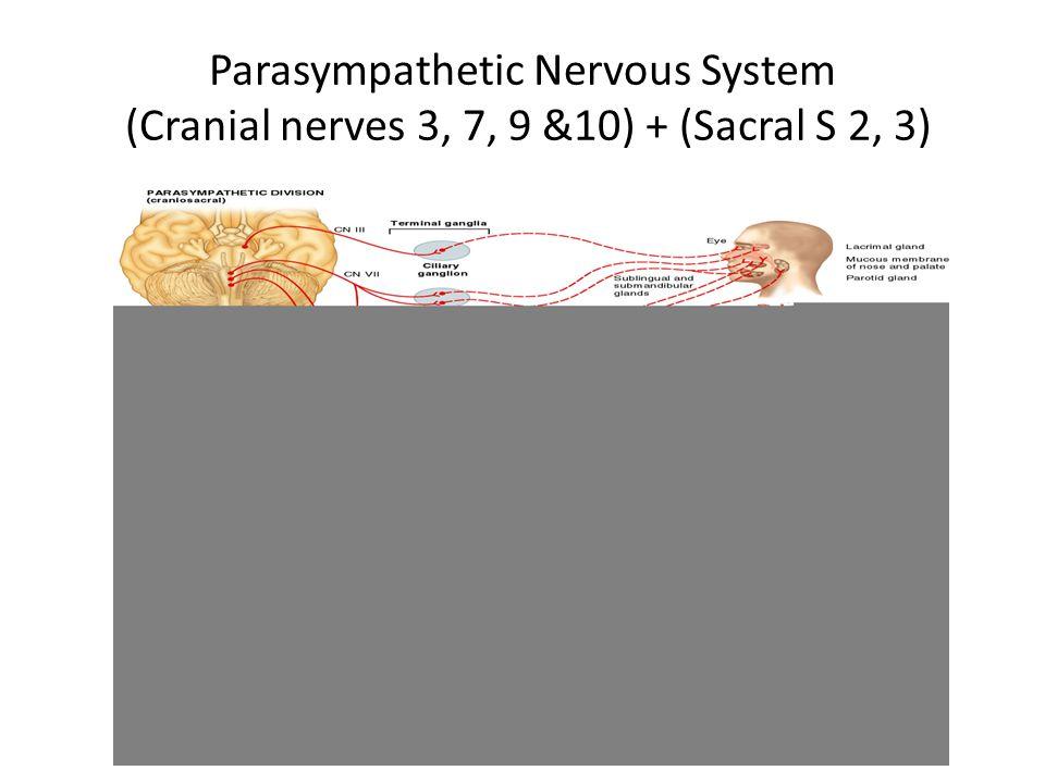 Parasympathetic Nervous System (Cranial nerves 3, 7, 9 &10) + (Sacral S 2, 3)