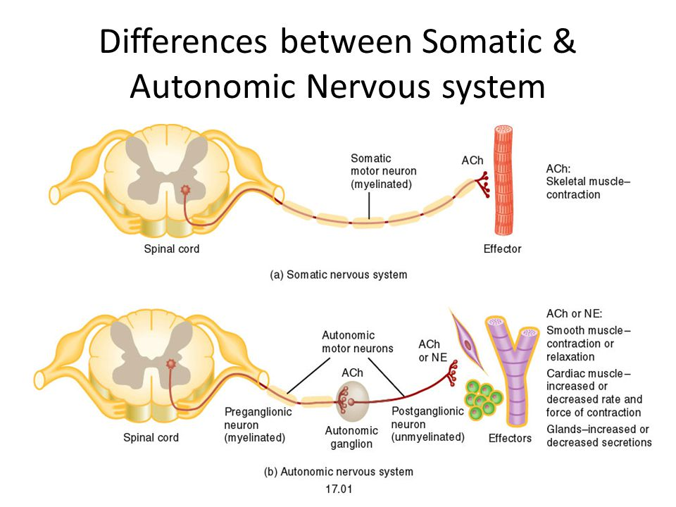 Differences between Somatic & Autonomic Nervous system