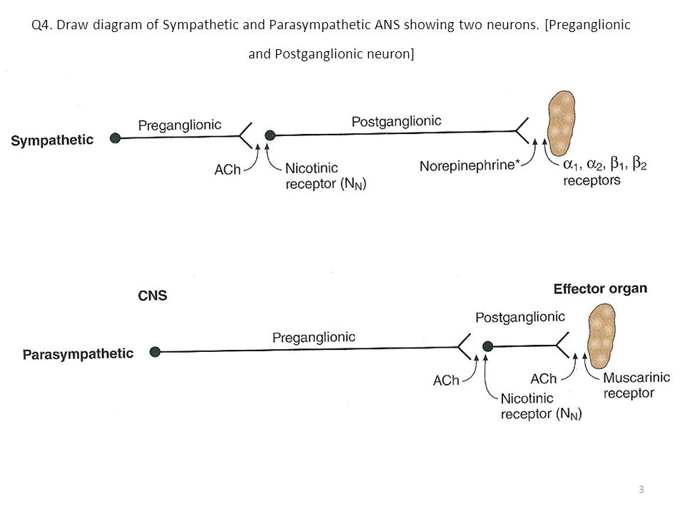 Q5.What is the difference between the length of Preganglionic and Postganglionic fiber in parasympathetic and parasympathetic ANS.