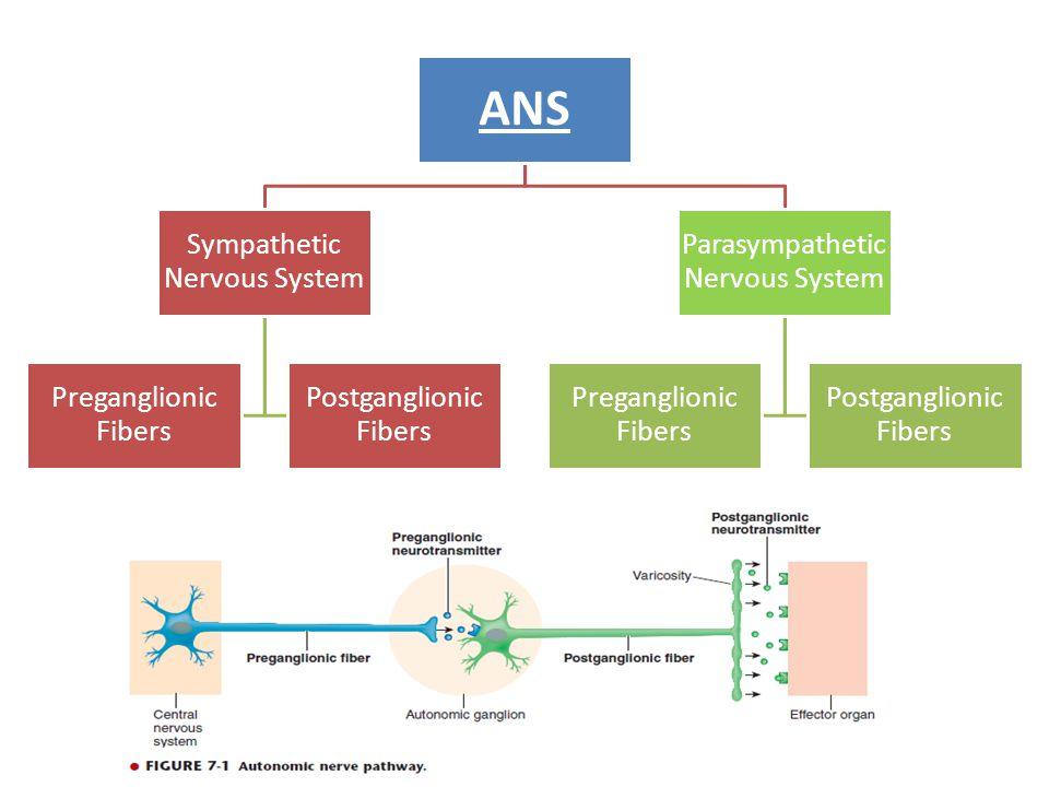 ANS Sympathetic Nervous System Preganglionic Fibers Postganglionic Fibers Parasympathetic Nervous System Preganglionic Fibers Postganglionic Fibers