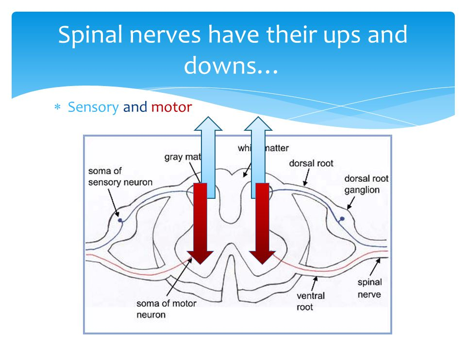  Sensory and motor Spinal nerves have their ups and downs…