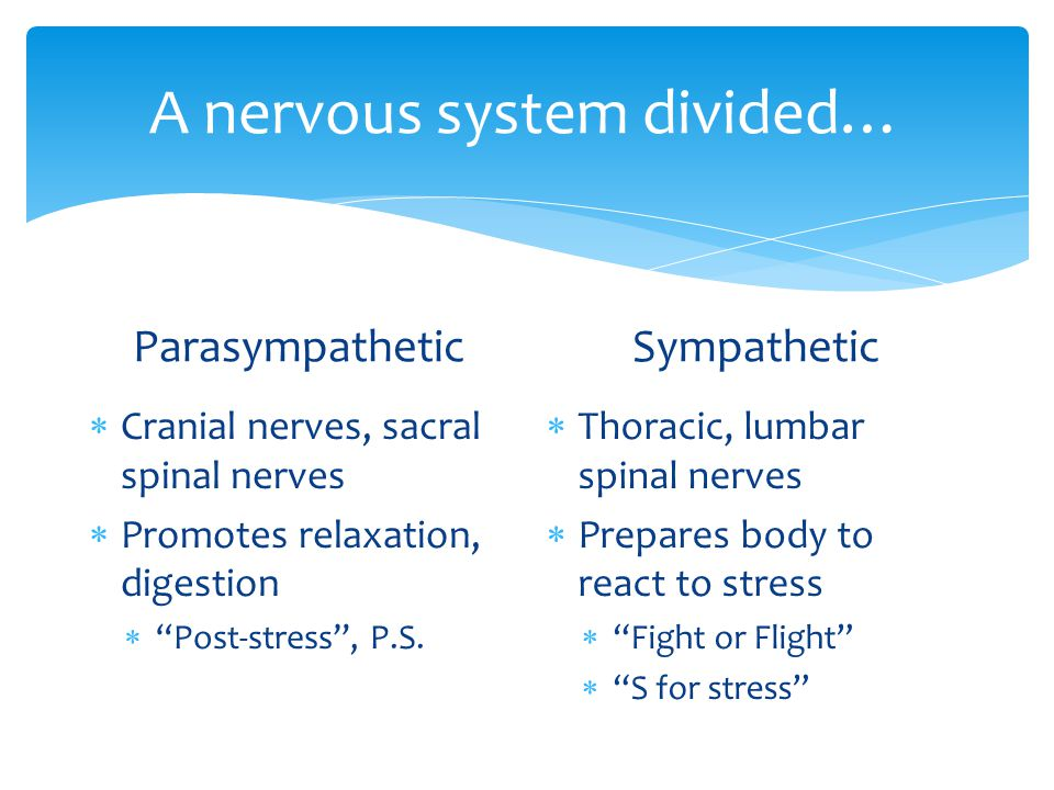 A nervous system divided… Parasympathetic  Cranial nerves, sacral spinal nerves  Promotes relaxation, digestion  Post-stress , P.S.