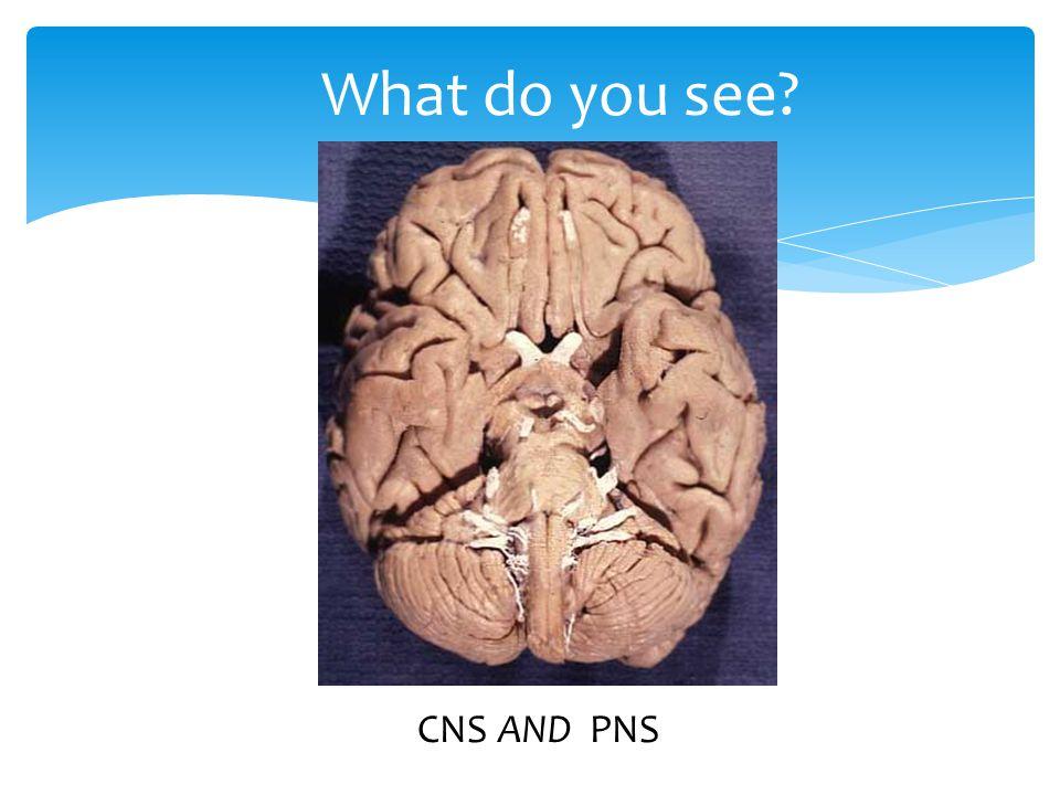 A nervous system divided… Parasympathetic  Cranial nerves, sacral spinal nerves  Promotes relaxation, digestion  Post-stress , P.S.