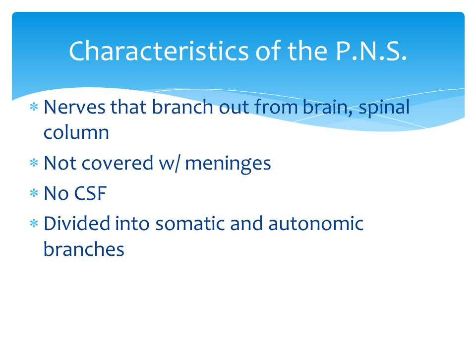 Nerves that branch out from brain, spinal column  Not covered w/ meninges  No CSF  Divided into somatic and autonomic branches Characteristics of the P.N.S.