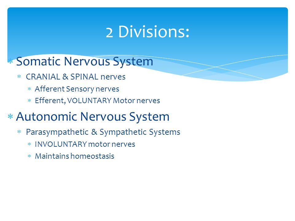  Somatic Nervous System  CRANIAL & SPINAL nerves  Afferent Sensory nerves  Efferent, VOLUNTARY Motor nerves  Autonomic Nervous System  Parasympathetic & Sympathetic Systems  INVOLUNTARY motor nerves  Maintains homeostasis 2 Divisions: