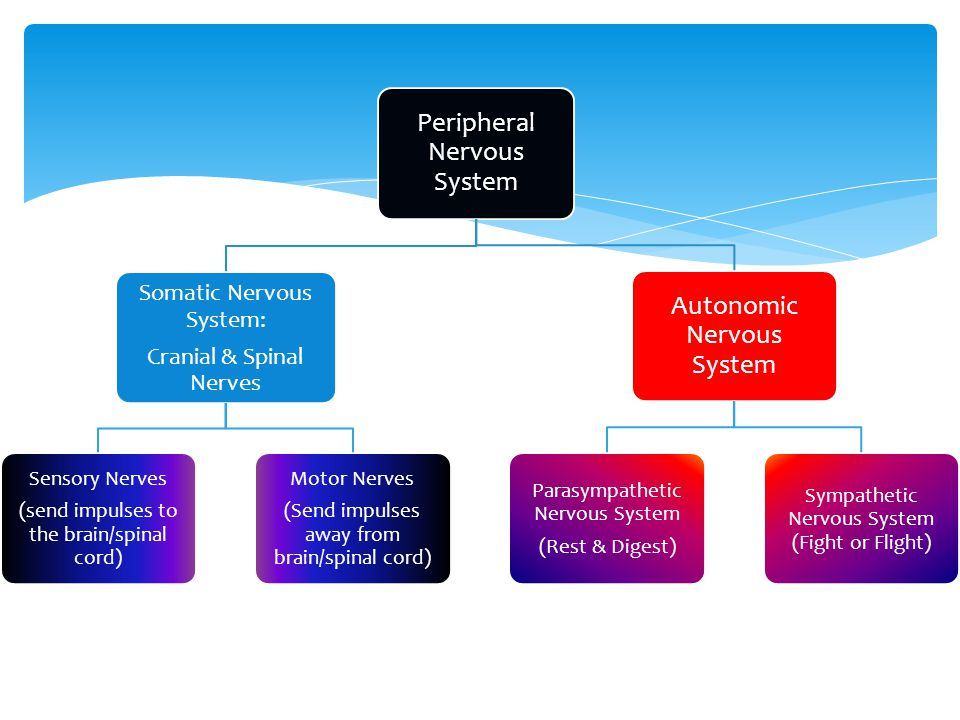 Peripheral Nervous System Somatic Nervous System: Cranial & Spinal Nerves Sensory Nerves (send impulses to the brain/spinal cord) Motor Nerves (Send impulses away from brain/spinal cord) Autonomic Nervous System Parasympathetic Nervous System (Rest & Digest) Sympathetic Nervous System (Fight or Flight)