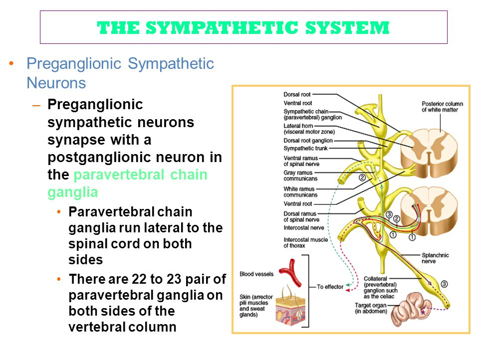 THE SYMPATHETIC SYSTEM Preganglionic Sympathetic Neurons –Preganglionic sympathetic neurons synapse with a postganglionic neuron in the paravertebral