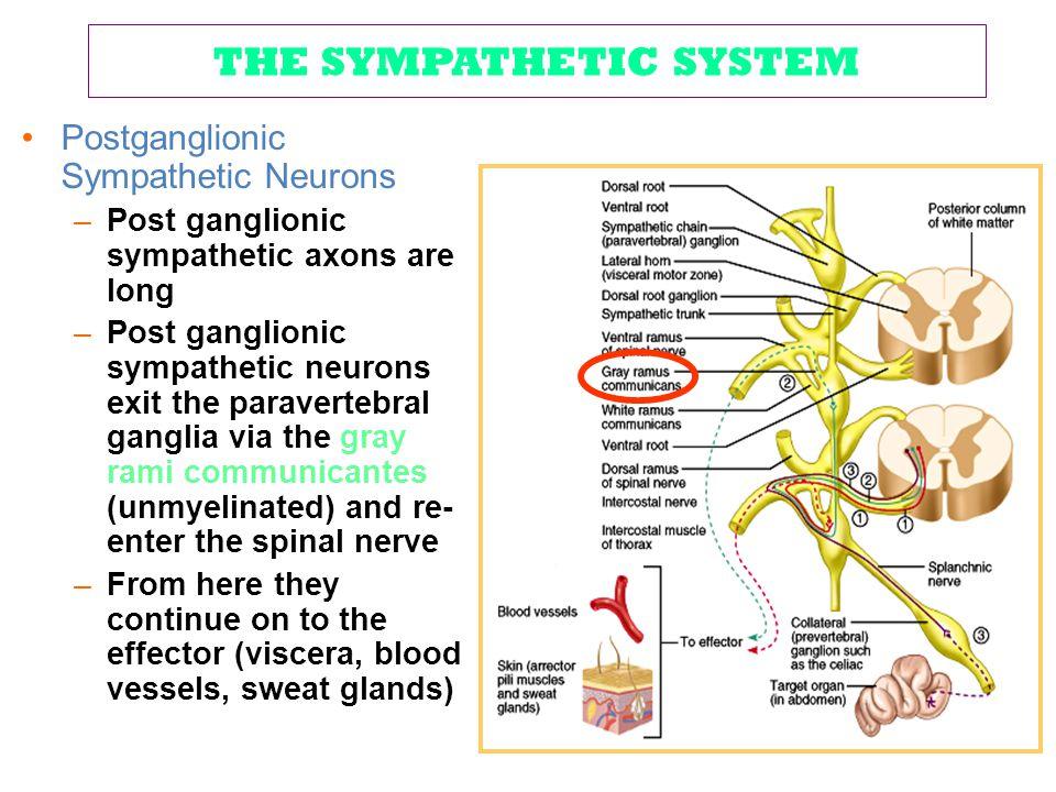 THE SYMPATHETIC SYSTEM Postganglionic Sympathetic Neurons –Post ganglionic sympathetic axons are long –Post ganglionic sympathetic neurons exit the pa