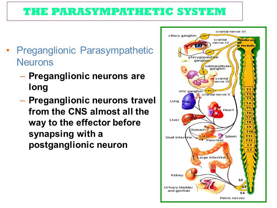 THE PARASYMPATHETIC SYSTEM Preganglionic Parasympathetic Neurons –Preganglionic neurons are long –Preganglionic neurons travel from the CNS almost all
