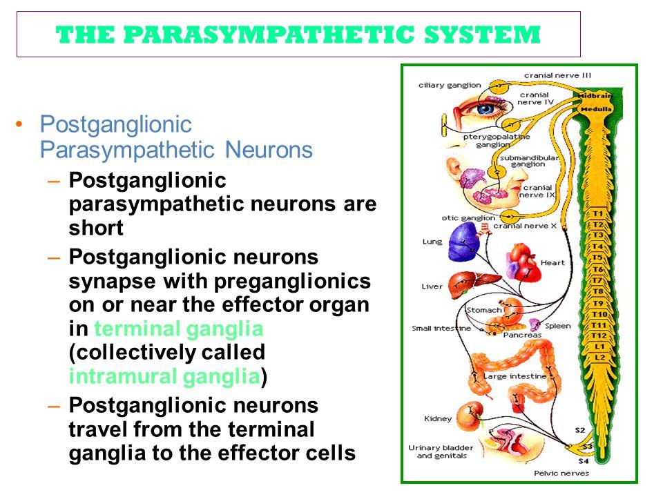 THE PARASYMPATHETIC SYSTEM Postganglionic Parasympathetic Neurons –Postganglionic parasympathetic neurons are short –Postganglionic neurons synapse wi