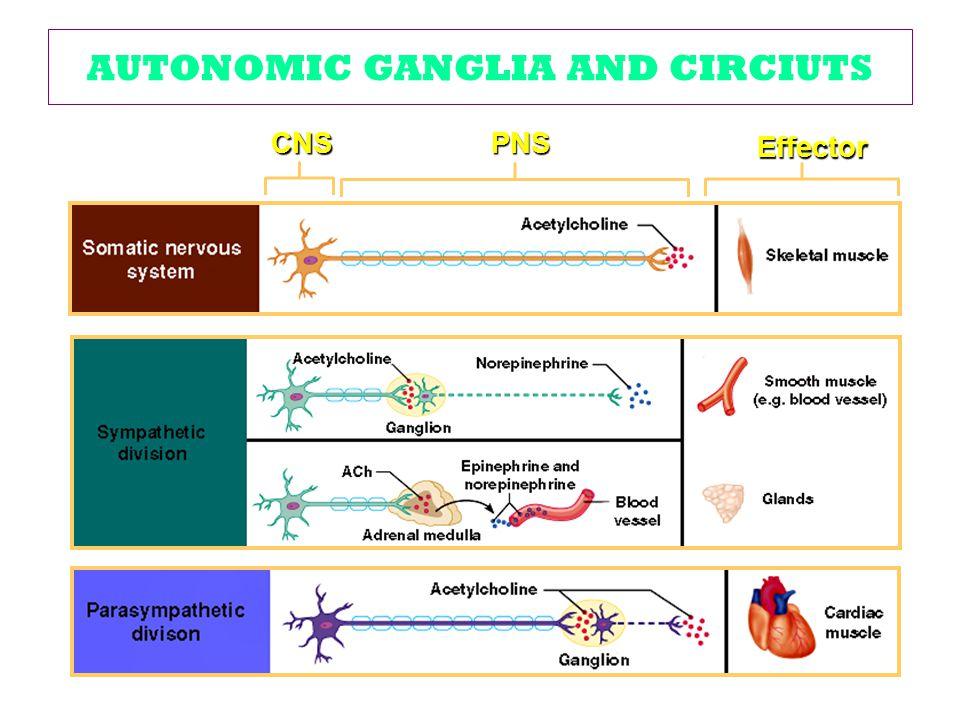 AUTONOMIC GANGLIA AND CIRCIUTS CNSPNS Effector
