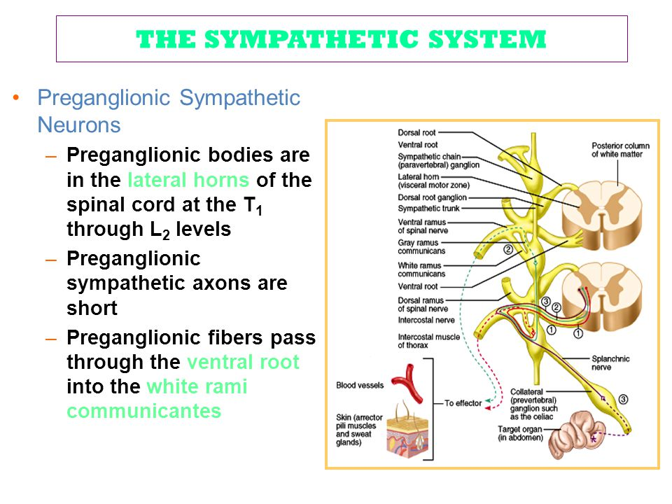 THE SYMPATHETIC SYSTEM Preganglionic Sympathetic Neurons –Preganglionic bodies are in the lateral horns of the spinal cord at the T 1 through L 2 leve