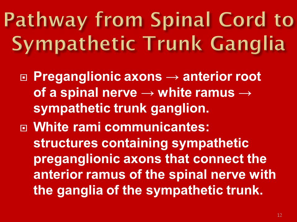  Preganglionic axons → anterior root of a spinal nerve → white ramus → sympathetic trunk ganglion.  White rami communicantes: structures containing