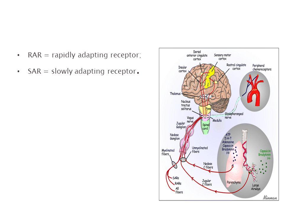 RAR = rapidly adapting receptor; SAR = slowly adapting receptor.