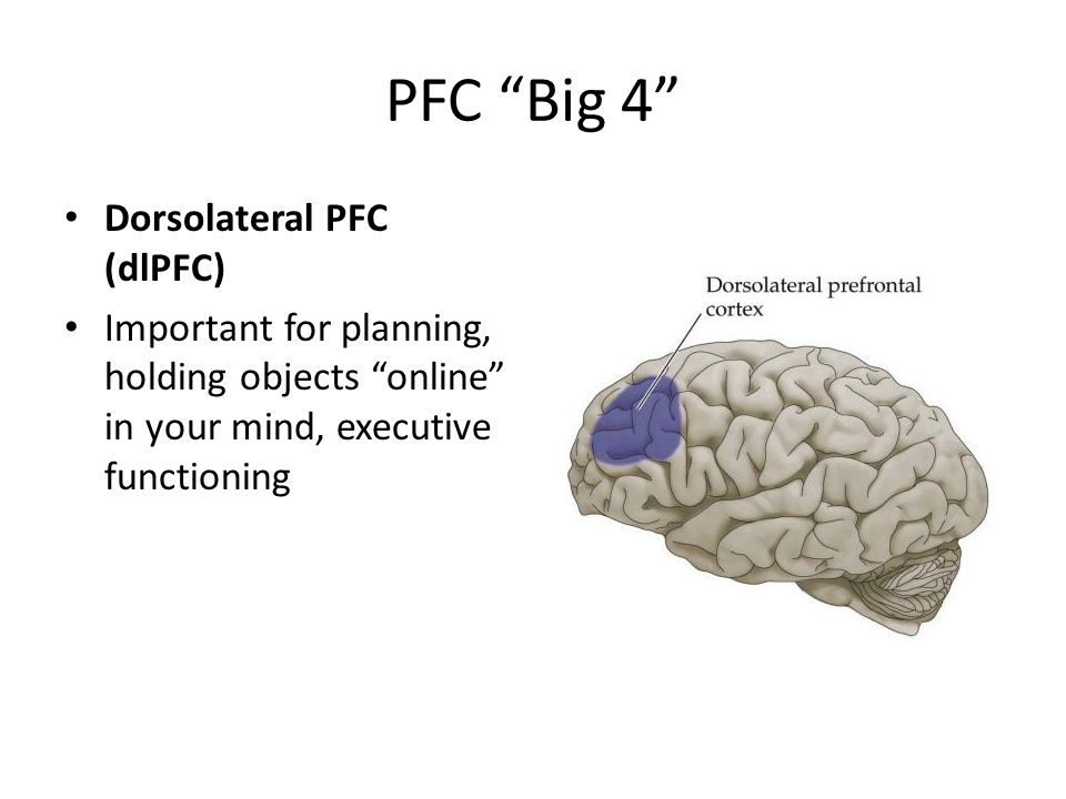 PFC Big 4 Dorsolateral PFC (dlPFC) Important for planning, holding objects online in your mind, executive functioning